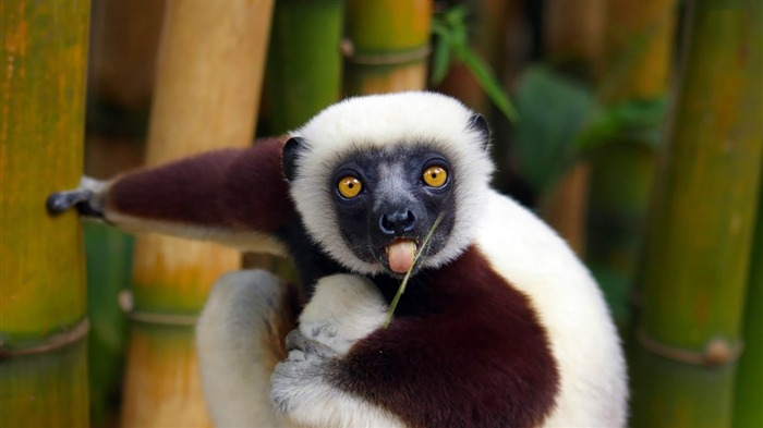 lemur-Animal world photography wallpapers Views:4005