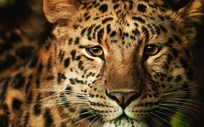 leopard-Animal world photography wallpapers Views:3829