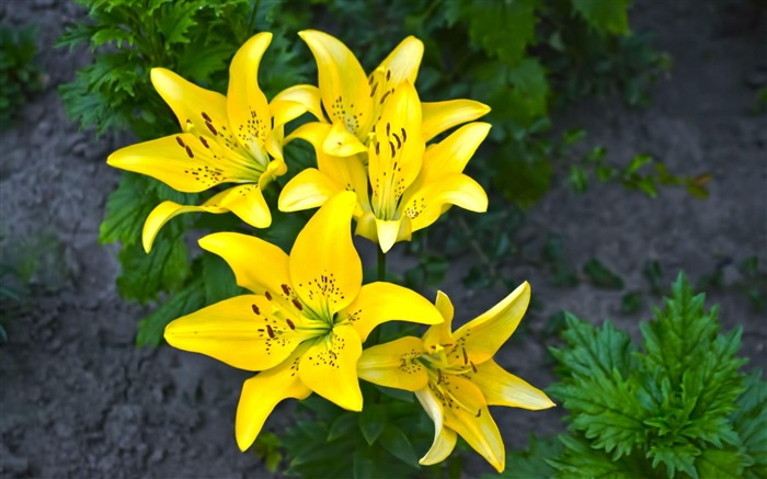 lilies yellow flower-Beautiful flowers HD wallpaper Views:4575