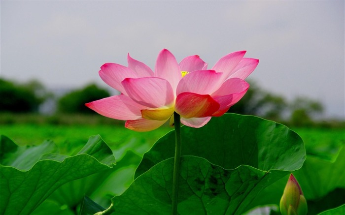 lotus leaf green-Beautiful flowers HD wallpaper Views:4202