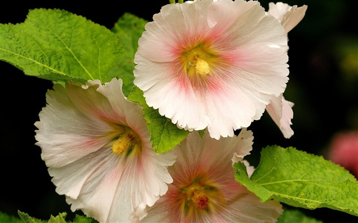 mallow flower-Beautiful flowers HD wallpaper Views:3311