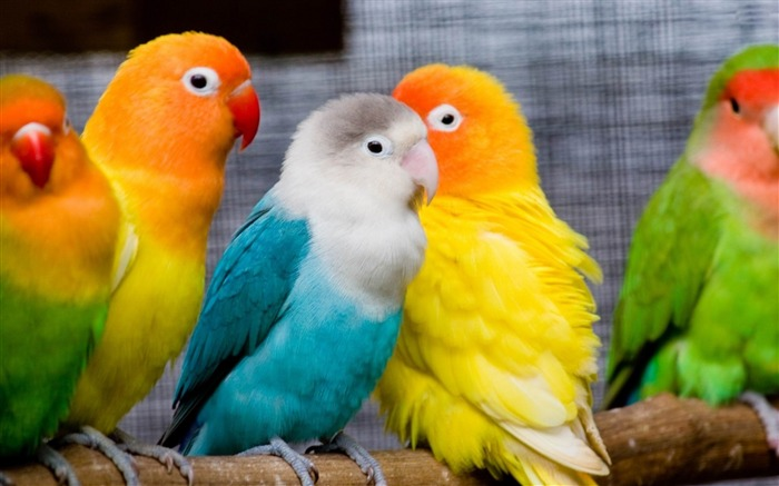 parrots-Animal world photography wallpapers Views:4963