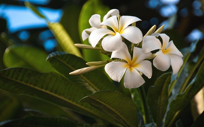 plumeria flowers-Beautiful flowers HD wallpaper Views:4665