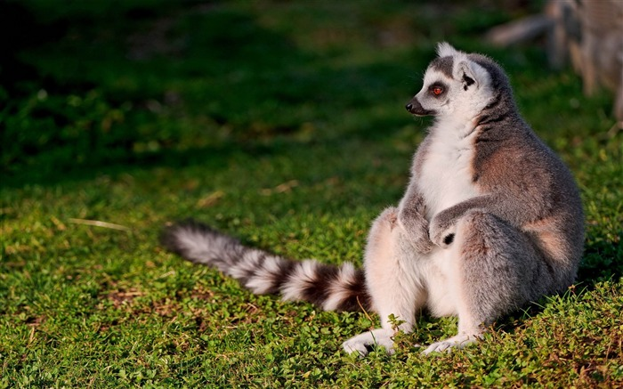 ring tailed lemur-Animal world photography wallpapers Views:3777
