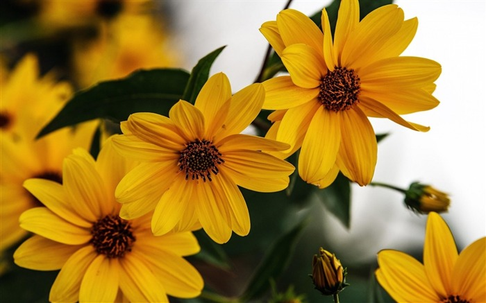 rudbeckia flowers-Beautiful flowers HD wallpaper Views:2396