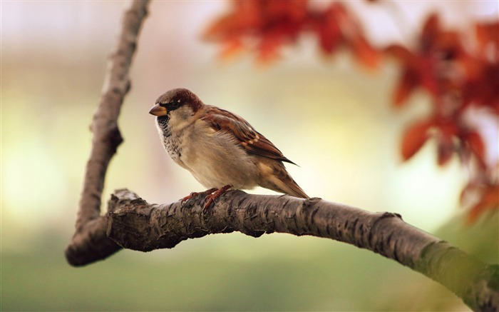 sparrow-Animal world photography wallpapers Views:3210