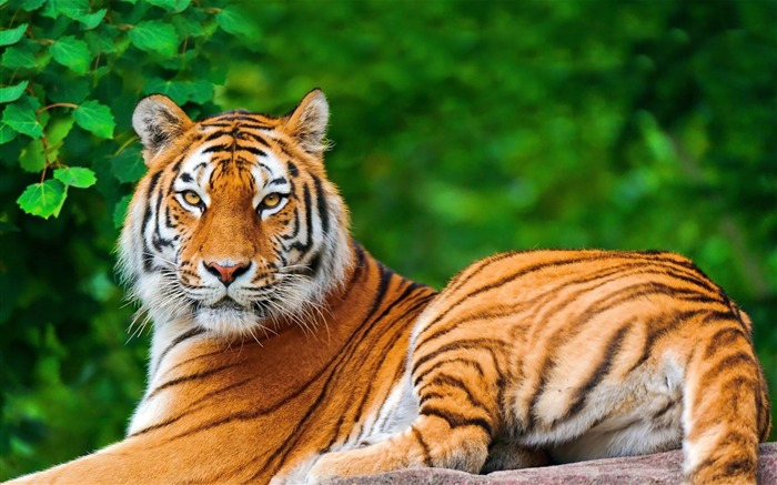tiger-Animal world photography wallpapers Views:2711