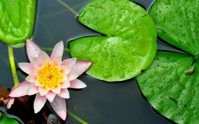 water lily leaves-Beautiful flowers HD wallpaper Views:4470