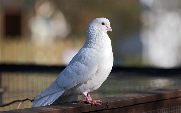 white dove-Animal world photography wallpapers Views:3850