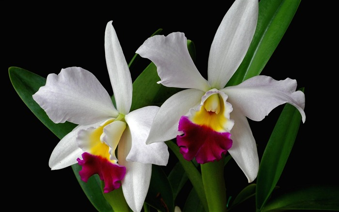 white orchid flower branch exotic-Beautiful flowers HD wallpaper Views:4985