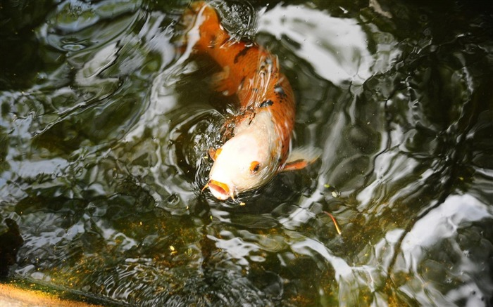 Carp in water-Animal photography wallpaper Views:6986