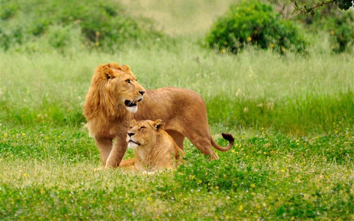 Lions on the prairie-Animal photography wallpaper Views:4675