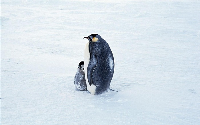 Snow penguins-Animal photography wallpaper Views:2837