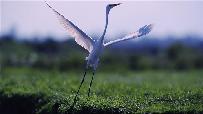 egret-Animal World Photography wallpaper Views:3077