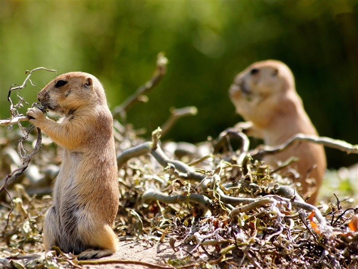 gophers-Animal World Photography wallpaper Views:3413
