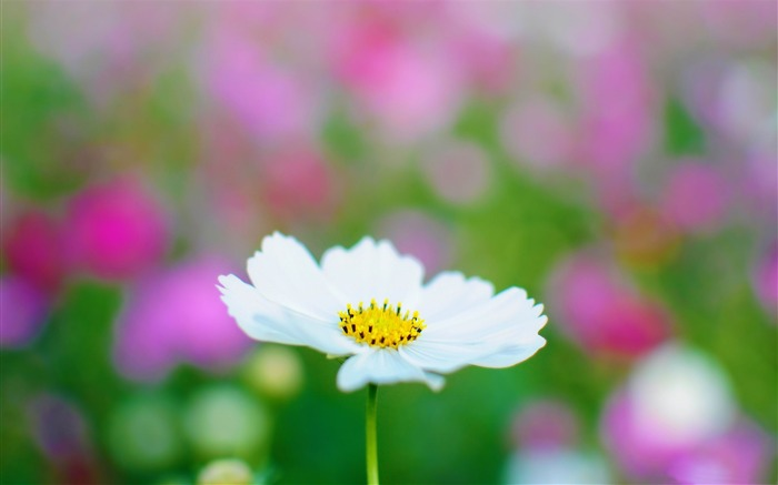 Title:white cosmos-High quality HD Wallpaper Views:3034