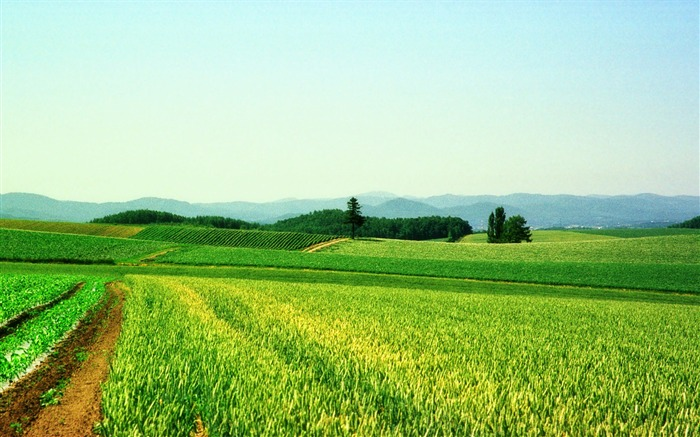 Green wheat Photography-Attractive scenery wallpaper Views:3739