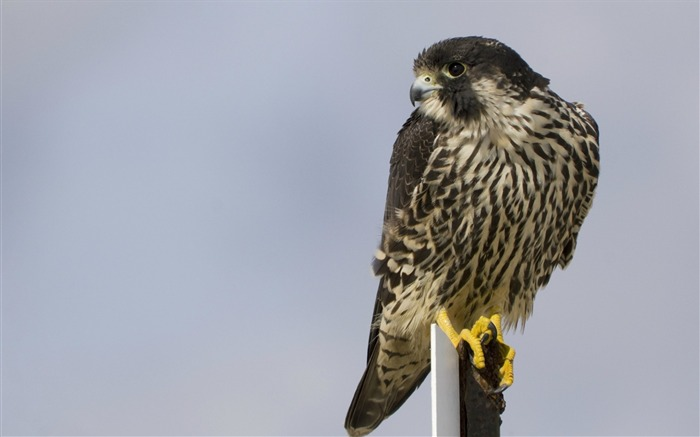 bird peregrine falcon-Bird Photography HD wallpaper Views:4916