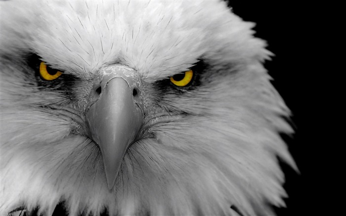 eagle bird predator beak-Bird Photography HD wallpaper Views:5629