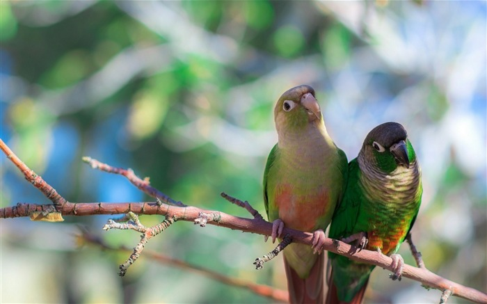 parrots-Bird Photography HD wallpaper Views:3791