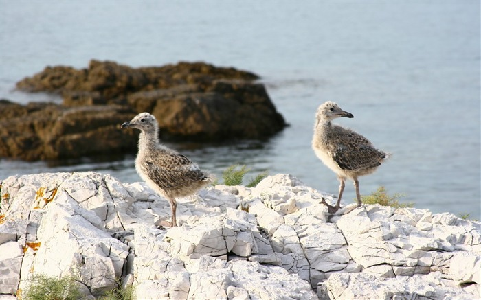 rock chicks sea-Bird Photography HD wallpaper Views:2096