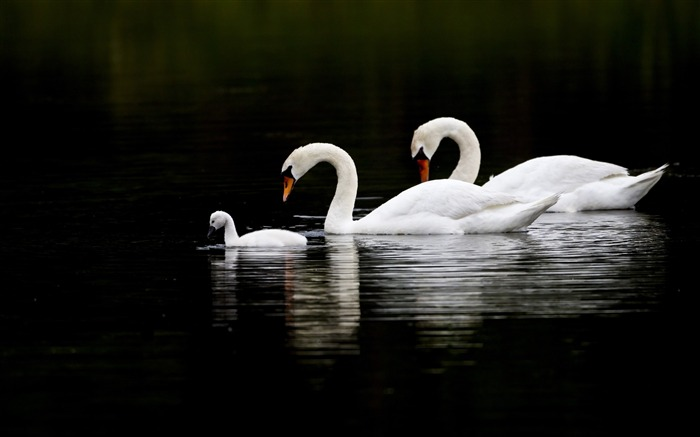 swans water swim-Bird Photography HD wallpaper Views:2441