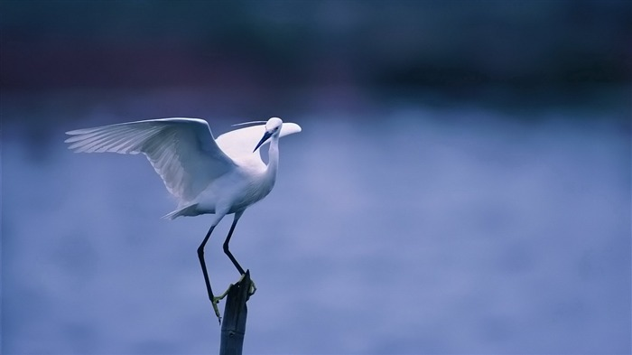 white wings sit-Bird Photography HD wallpaper Views:3977