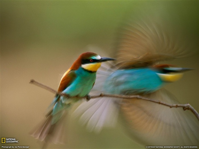 Bee-Eaters Hungary-National Geographic wallpaper Views:4167