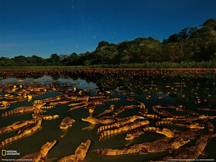 Caimans at Night Brazil-National Geographic wallpaper Views:6781