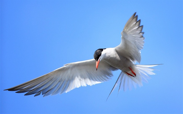 Terns Animal photography HD wallpaper Views:6488