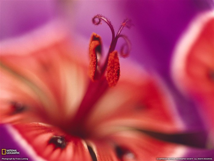 Wine Cup Flower, South Africa-National Geographic wallpapers Views:0