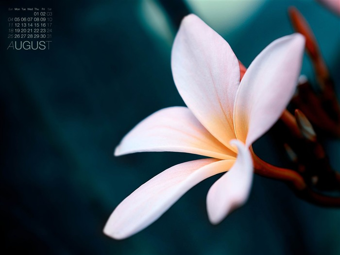 The Balinese Flower-August 2013 calendar wallpaper Views:5009