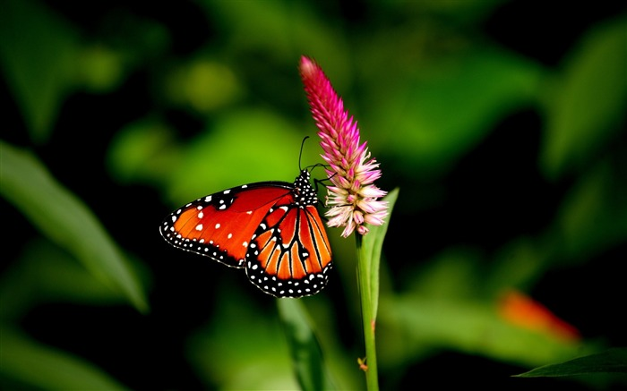 butterfly flower plant-Macro photography wallpaper Views:4198
