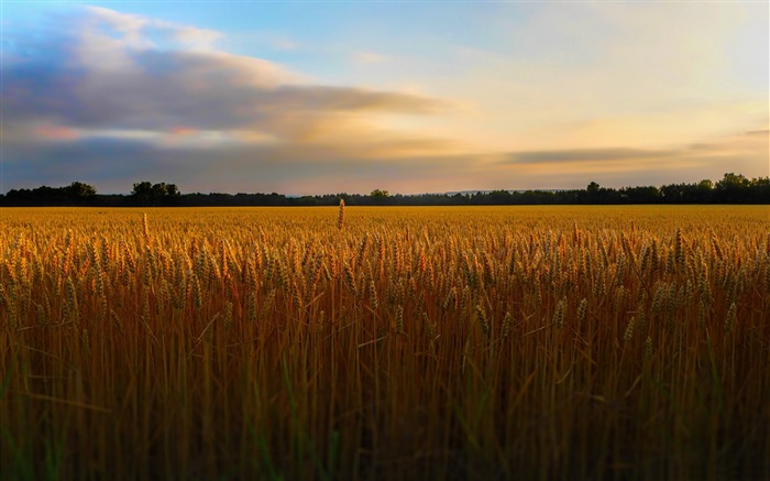 golden wheat field-Landscape Pics HD Wallpaper Views:3748