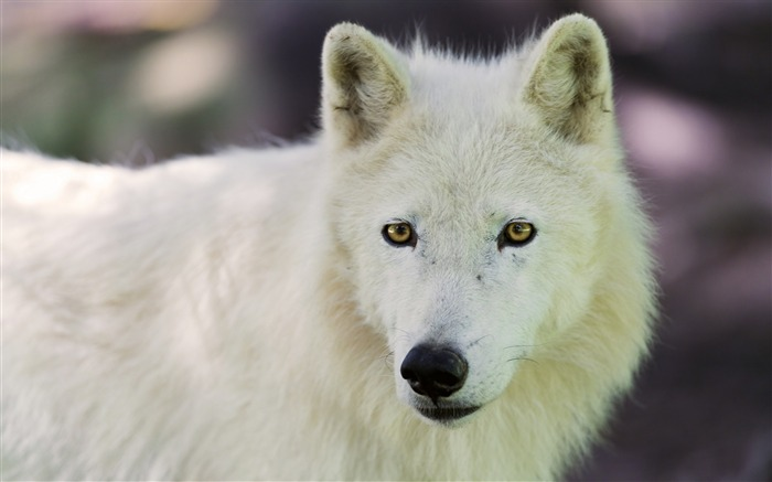 arctic wolf dog muzzle-Animal Widescreen Wallpaper Views:4169