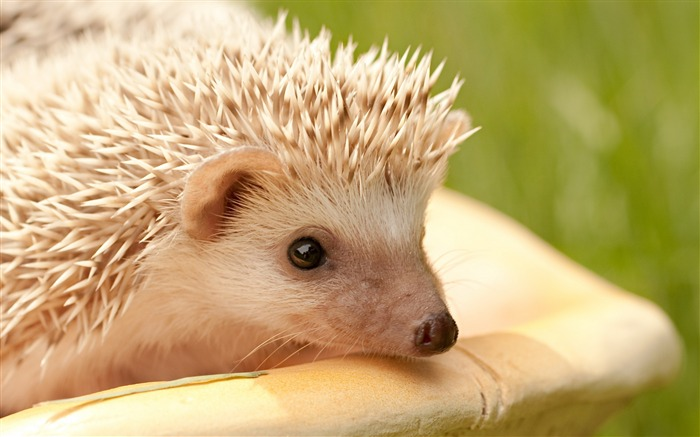 hedgehog muzzle eyes spines-Animal Widescreen Wallpaper Views:6136