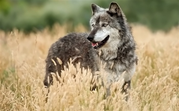 wolf looking out grass hunting-Animal Widescreen Wallpaper Views:2243