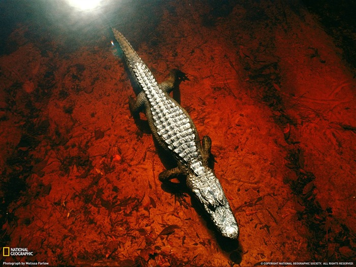 Alligator Okefenokee Swamp-National Geographic Wallpaper Views:3144