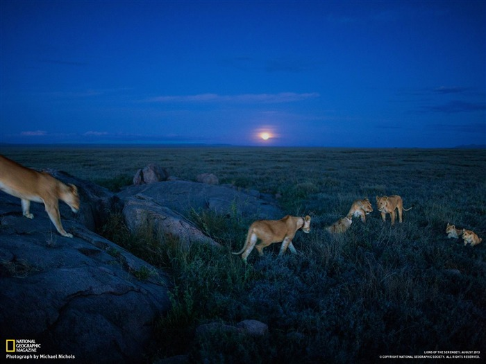 Lions Serengeti-National Geographic Wallpaper Views:2894