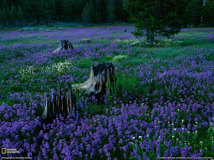 Penstemons Tahoe National Forest-National Geographic Wallpaper Views:3123