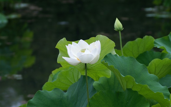 White lotus petals leaves-Flowers HD Wallpaper Views:3291