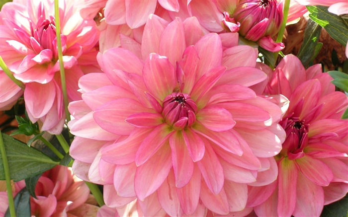 dahlia petals pink-Flowers HD Wallpaper Views:4821