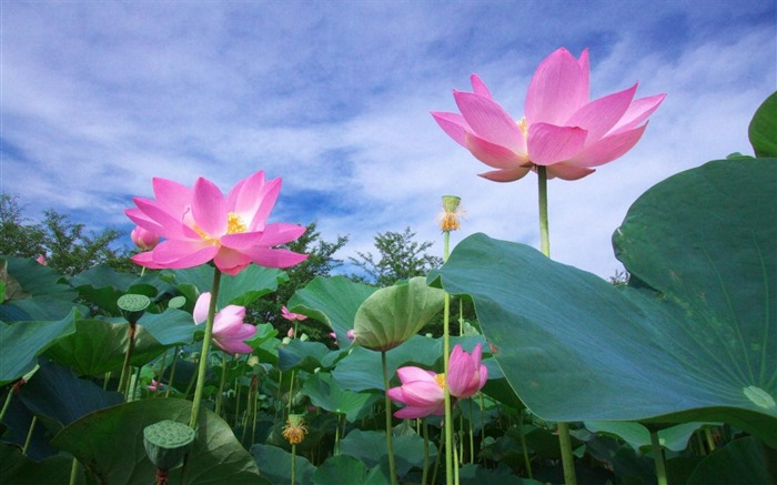 lotus green sky foliage-Flowers HD Wallpaper Views:3381