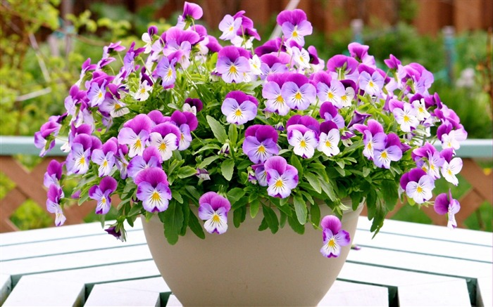 pansies flowers pots-Flowers HD Wallpaper Views:3787