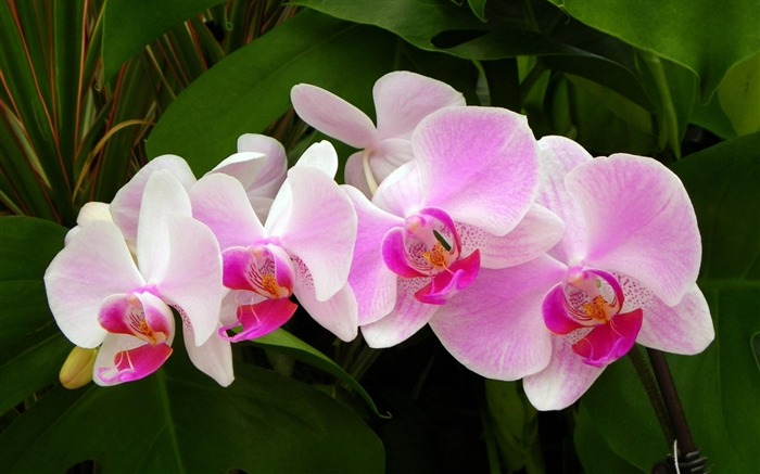pink orchid-Flowers HD Wallpaper Views:7454