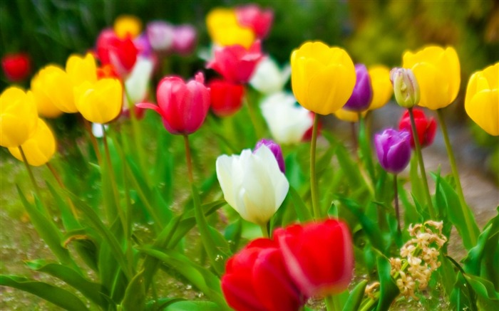tulips flowers nature-Photo HD Wallpaper Views:2361
