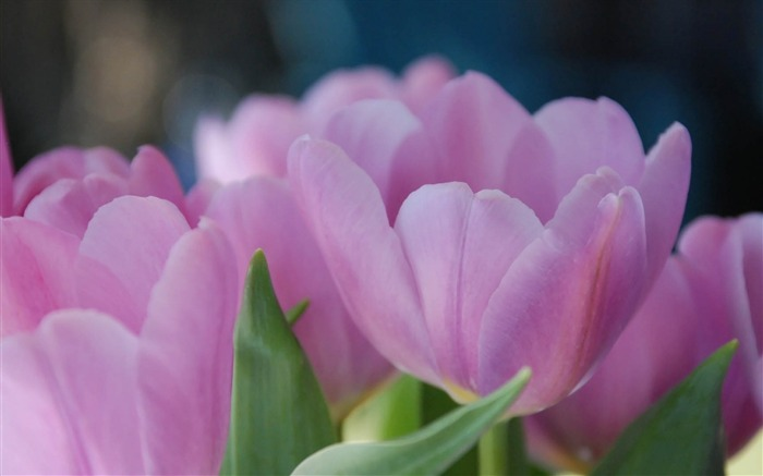 tulips flowers pink-Photo HD Wallpaper Views:1970