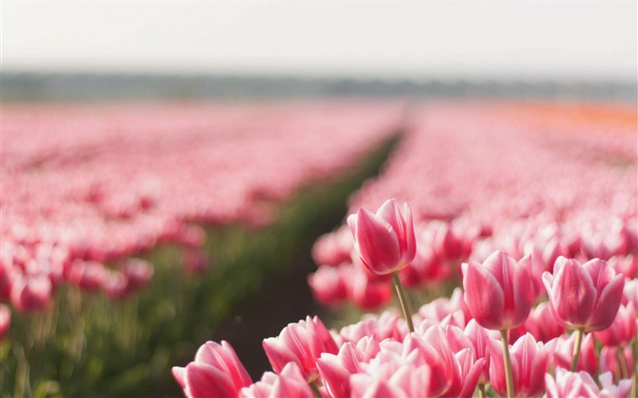 tulips plant striped-Photo HD Wallpaper Views:3221