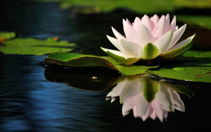 white water lilies-Flowers HD Wallpaper Views:2031