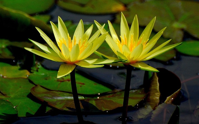 yellow water lilies-Flowers HD Wallpaper Views:2083